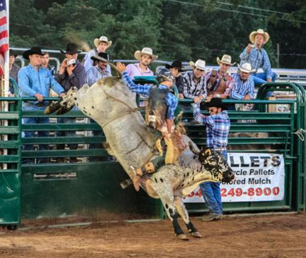 Bulls-Livestock